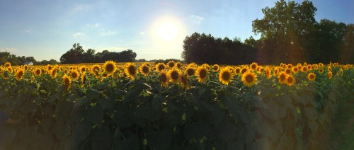 Sunflowers-Before-Sunset.jpg