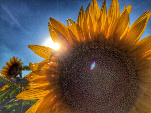 While taking family photos in a field of sunflowers, I experimented with light until I found a shot that I liked.